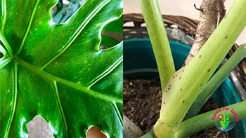 this image showing Yellow spots on philodendron