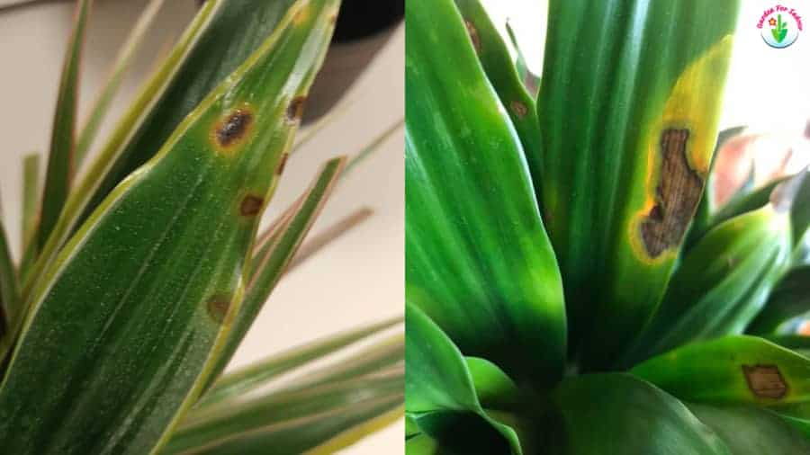Dracaena leaves showing brown spots on leaves