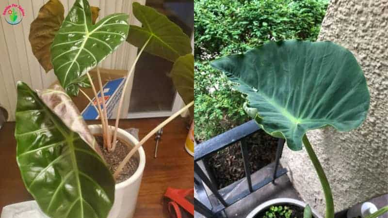 Indoor Elephant Ear plant Leaves Curling.