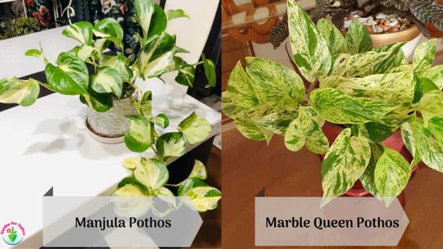 Image showing Manjula and Marble Queen pothos