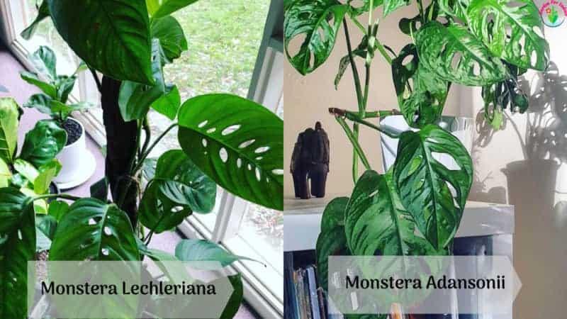 Image showing Monstera Lechleriana vs Monstera Adansonii