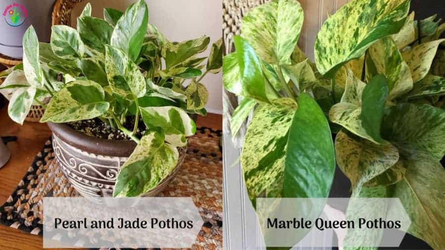 Image showing Pearl and Jade Pothos Vs Marble Queen differences