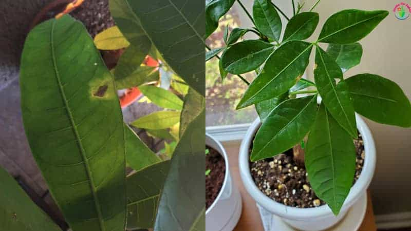 Indoor potted money tree have Brown Spot on leaves