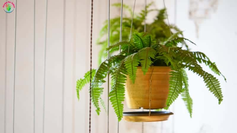 Ferns in hanging baskets.