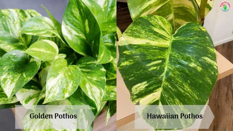 The image showing the difference between Golden Pothos and Hawaiian Pothos