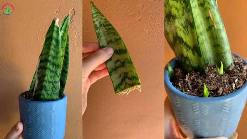 Image showing steps of snake plant leaf propagation.