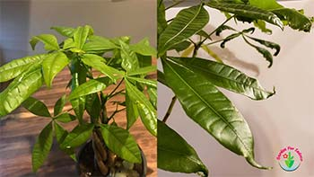 This image is showing Money Tree Leaves Curling