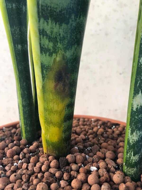Overwatered snake plant rot spread to the leaves