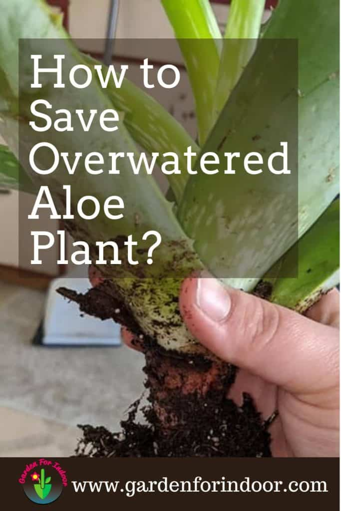 Image showing overwatered aloe vera