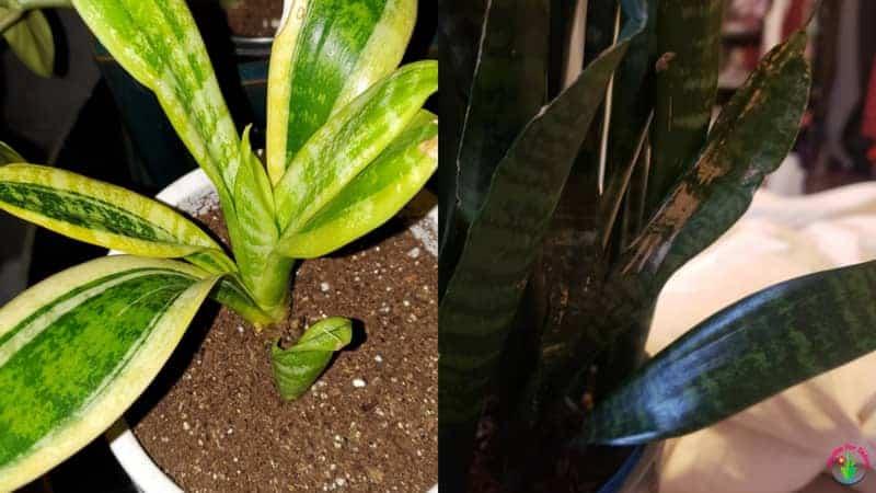 Indoor snake plant leaves turning white.