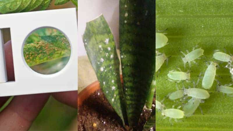 Different bugs on snake plant leaves