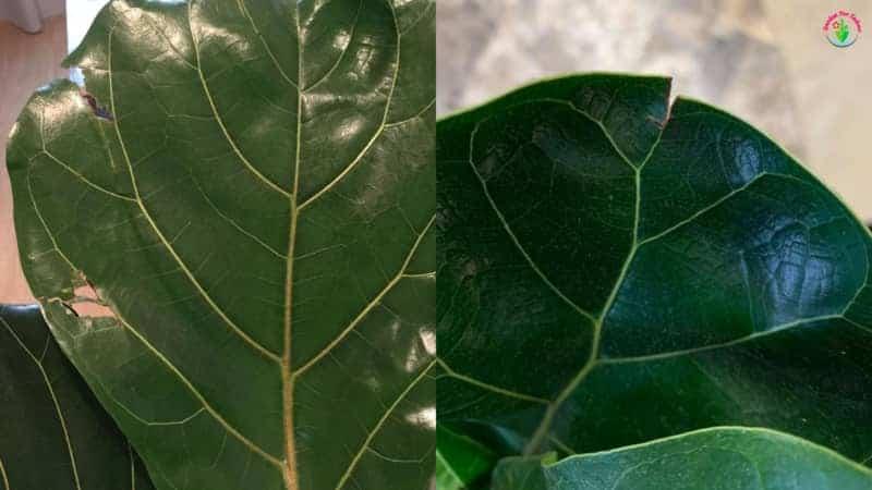 Indoor fiddle leaf fig leaves cracking