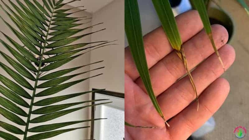 Indoor palm leaves curling