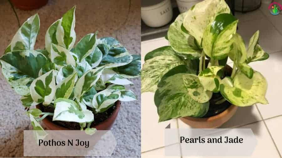 Showing difference and similarities between Pothos N Joy Vs Pearls and Jade