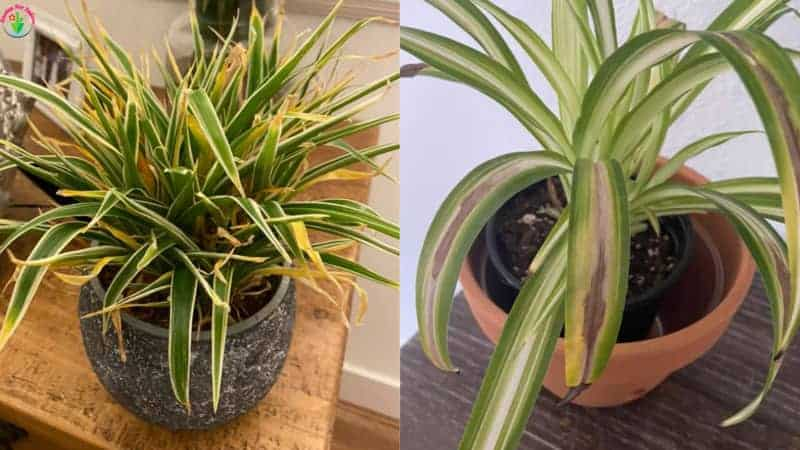 Indoor potted spider plant dying slowly.
