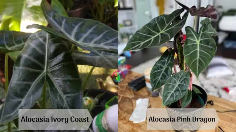 Difference between Alocasia Ivory Coast and Pink Dragon