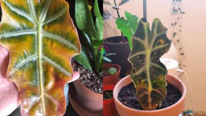 Alocasia leaves turning brown
