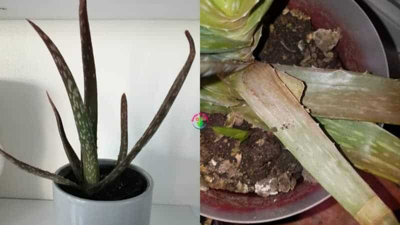 Indoor potted aloe vera plant turning brown and soft