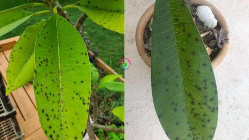 Plumeria plant leaves showing black spot symptoms