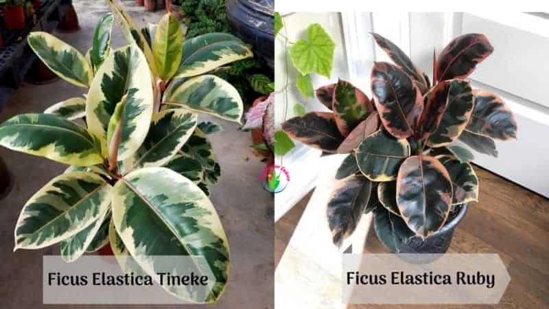 10 Unbelievable Patterned Variegated Indoor Plants - Ficus Elastica Tineke Vs Ruby