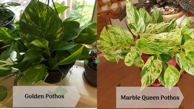 Showing differences between Marble Queen and Golden Pothos