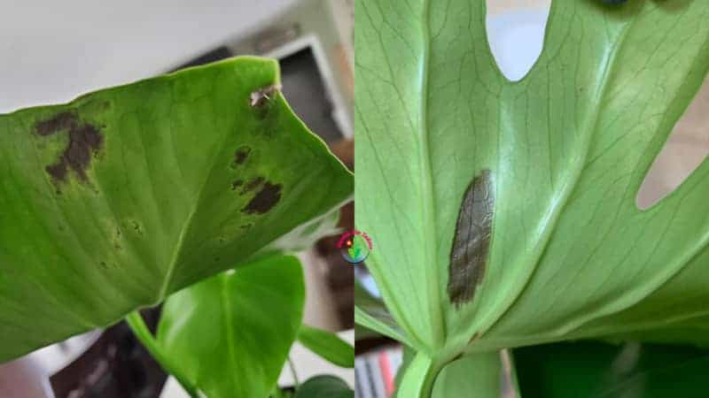 Monstera Leaves turning black