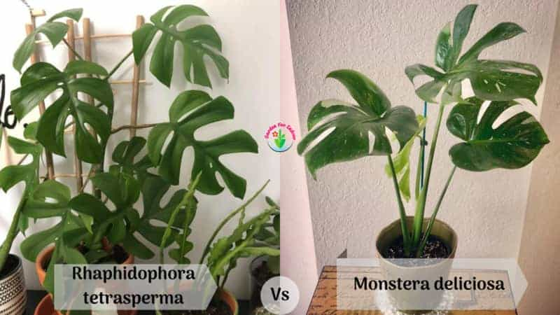 Difference between Rhaphidophora tetrasperma and Monstera deliciosa