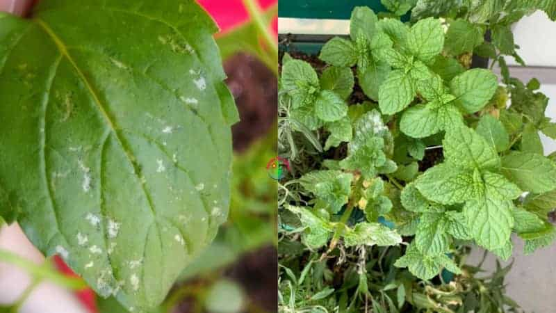 Indoor potted Mint plant leaves have white spots