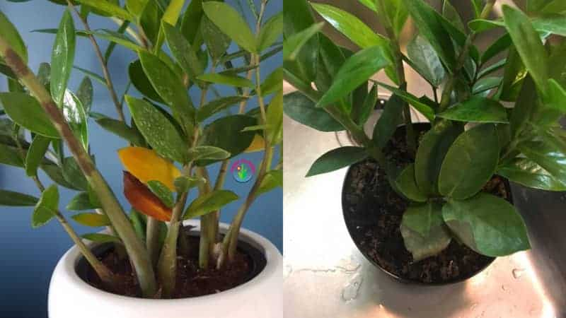 Potted zz plant stem and leaves showing black spots
