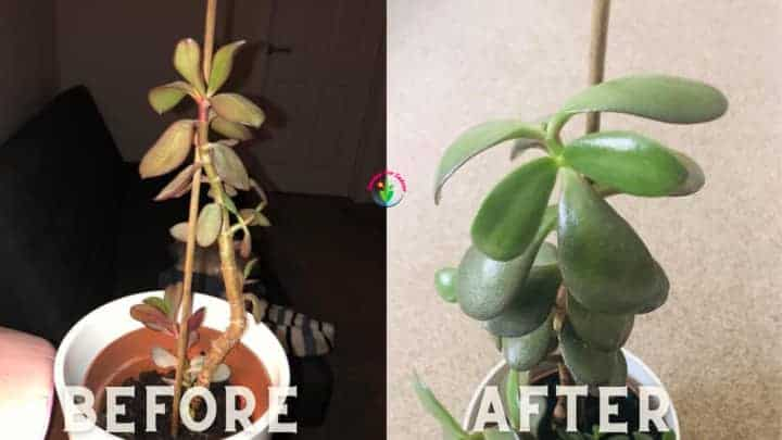 Comparing underwatered and normal jade plant
