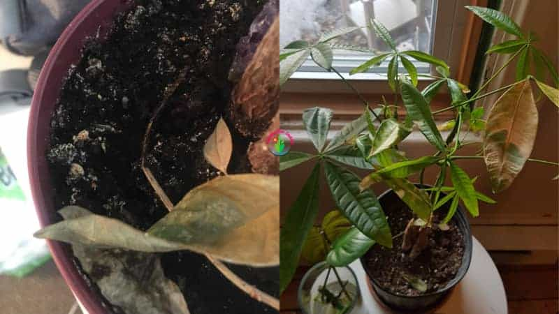 Indoor potted money tree showing signs of overwatering