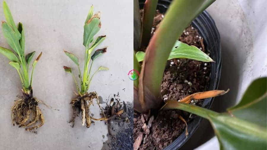 Root rot in Overwatered bird of Paradise