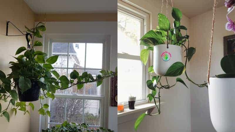 Pothos plant near window