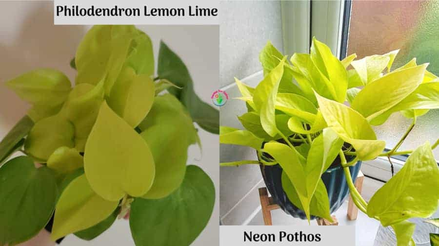 Showing difference between Neon Pothos and Lemon Lime Philodendron