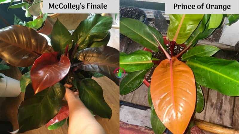 Comparison Between Philodendron McColley's Finale and Prince of Orange