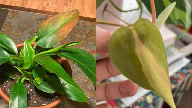 Indoor philodendron plant leaves turning red.