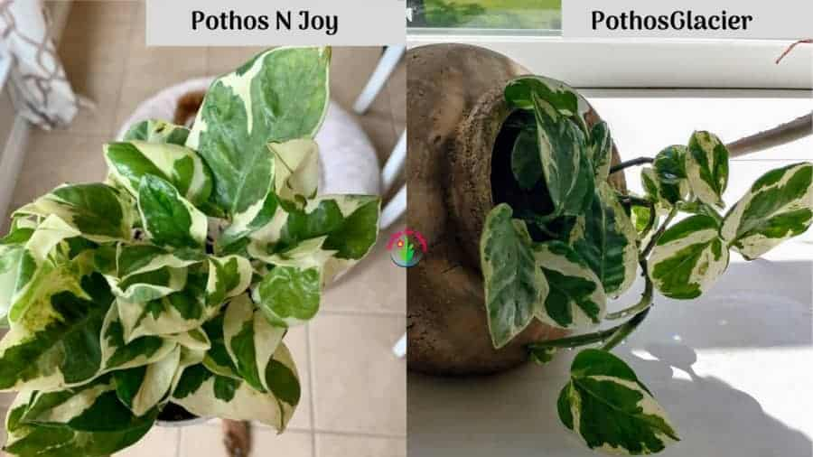 Pothos N Joy and Glacier difference