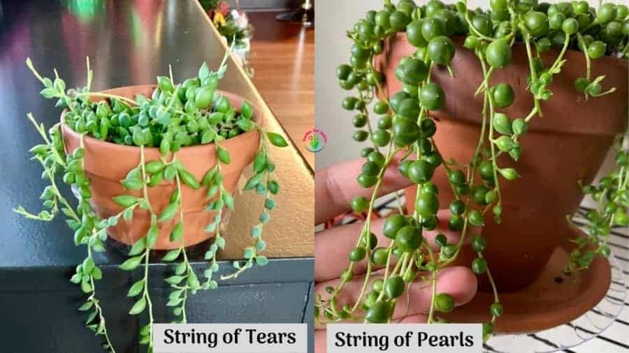 string of Tears and String of Pearls