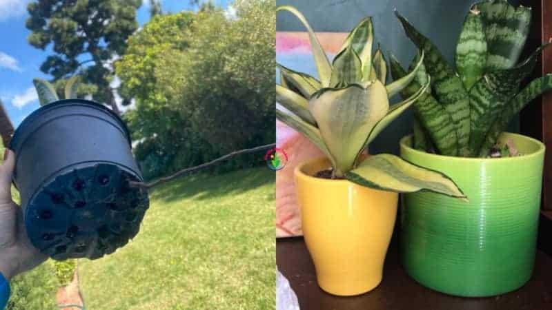 pot snake plants