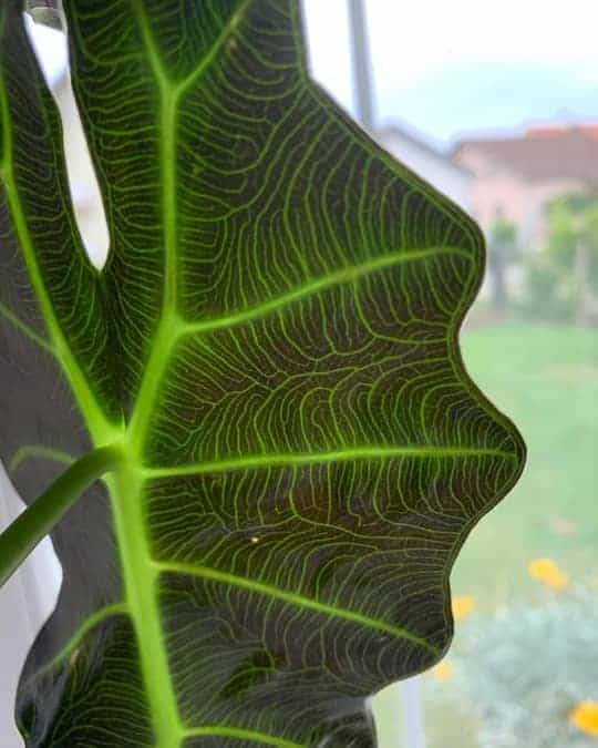 Alocasia Polly leaf underside