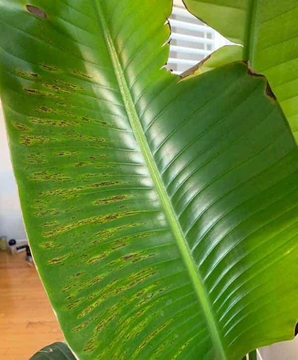 Leaf Spots on Bird of Paradise