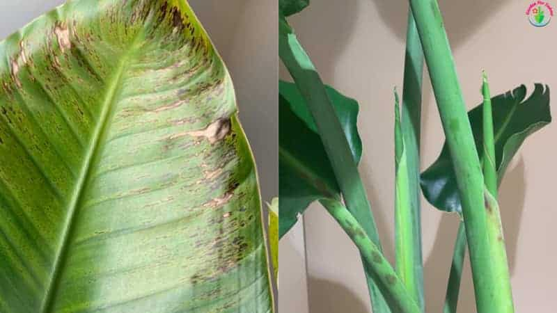 Brown Spots on Bird of Paradise stems and leaves