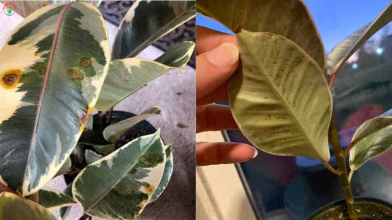Brown spots on Indoor potted rubber plant leaves