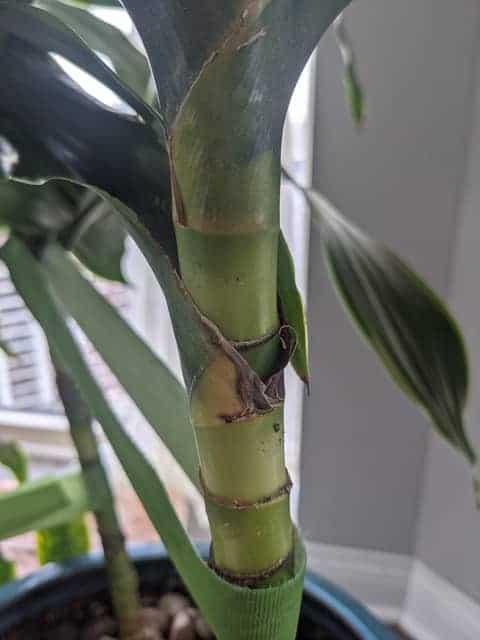 Dracaena stem turning yellow