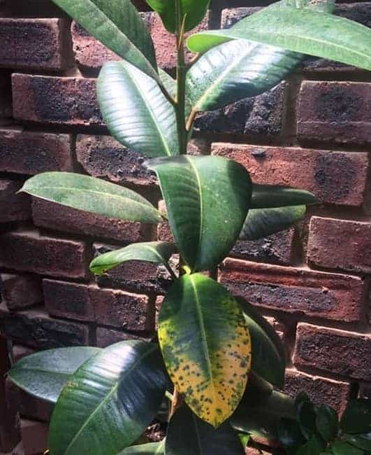 Edema on rubber plant leaves due to overwatering