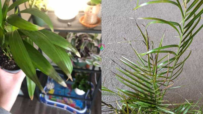 Signs of overwatered palm tree
