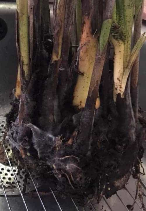 Palm Root Rot