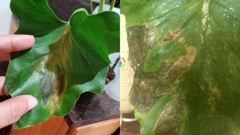 Indoor potted Philodendron plant leaves Turning Black