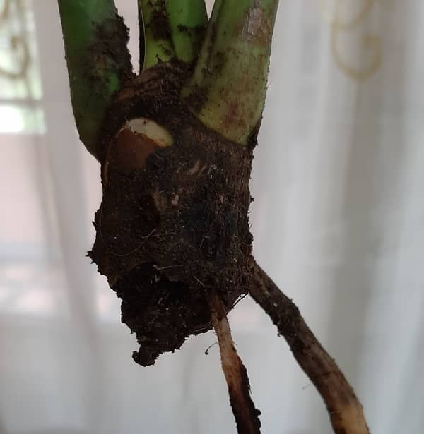Philodendron root rot