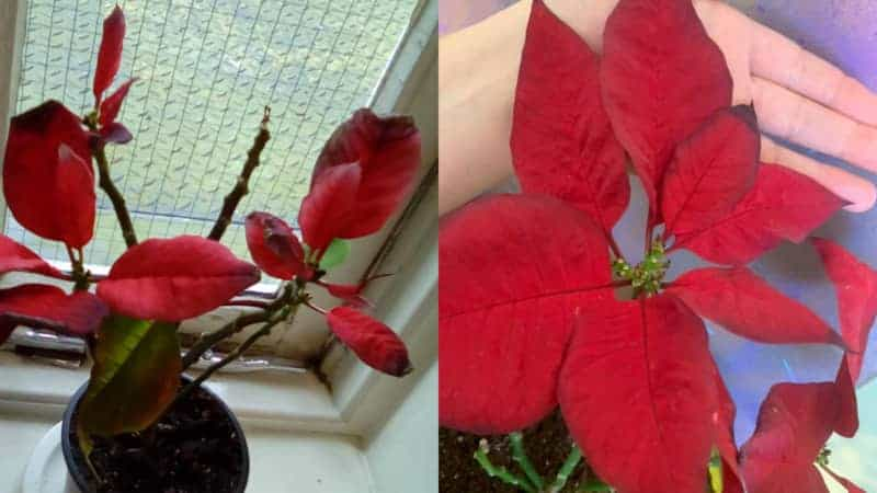 Poinsettia Leaves Edge Turning Black and dying